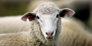sheephunt