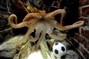 Paul the octopus  swims in his tank  at Sea Life Aquarium in Oberhausen, Germany Friday June 25, 2010. The  2-year-old octopus oracle -  born in England, but raised in Germany - has predicted a German win over England in Sunday's World Cup game. The mollusk  chose a mussel out of a water glass marked with the German flag over a mussel in a glass with the English St. George's Cross, said Tanja Munzig, a spokeswoman for the Sea Life Aquarium in the western city of Oberhausen, on Friday.  Paul has proven to be a reliable oracle in the past - he predicted Germany's win over Australia and Ghana and its loss to Serbia.  (AP Photo/ddp/Volker Hartmann)