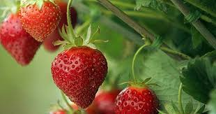 Strawberries can reduce the risk of chronic inflammation and disease