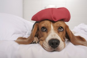 Cute beagle dog in bed with ice pack on her head
