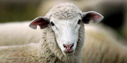 Sheep Hunt! MINISTRY TIP